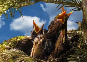 hungriga fåglar